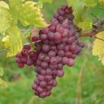 Uva, il frutto di stagione che fa bene al corpo